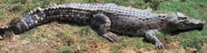 Northern Trritory Crocodile